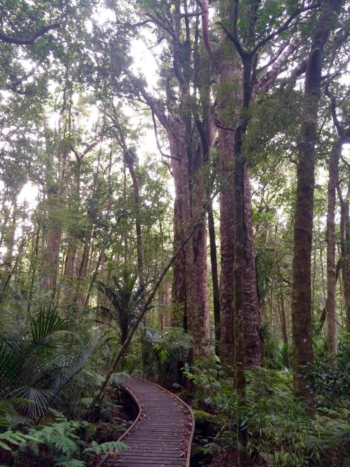 Waipoua-Kauri-Park-Neuseeland-4