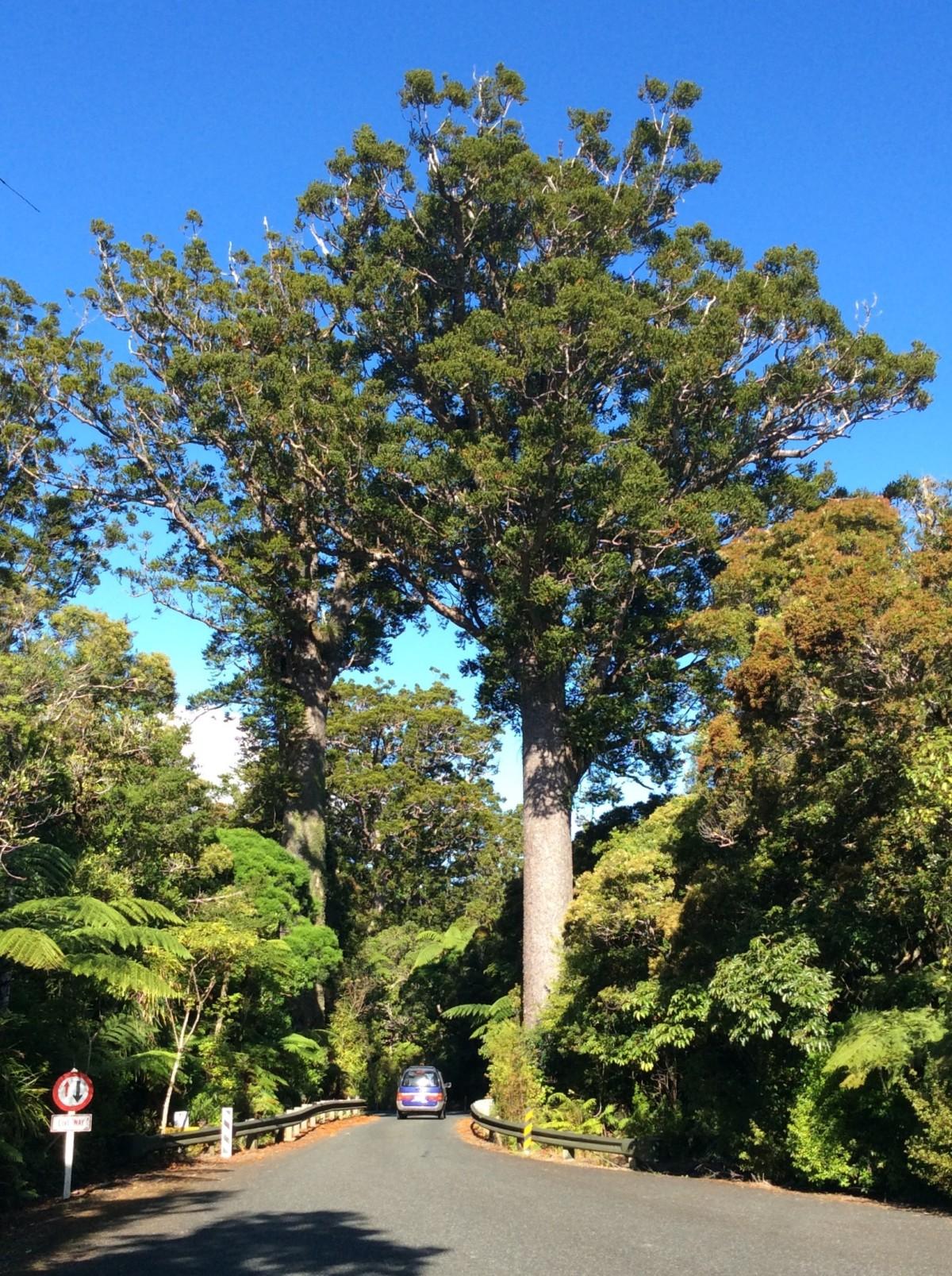Waipoua-Kauri-Park-Neuseeland-8