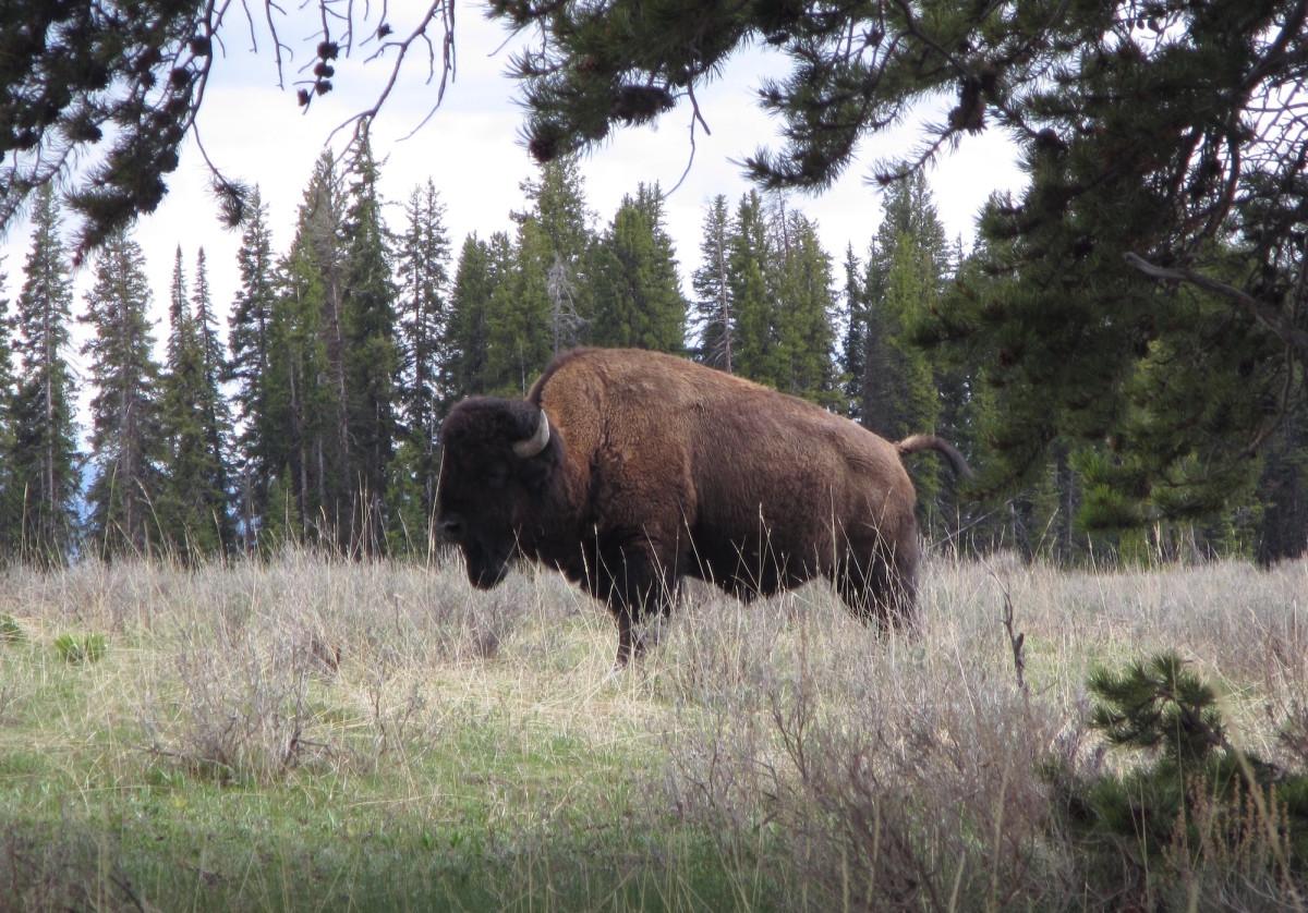 Yellowstone-Nationalpark-Wyoming-USA-41