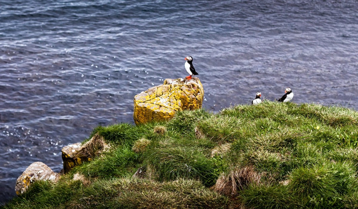 island-bakkagerdi-puffin-5