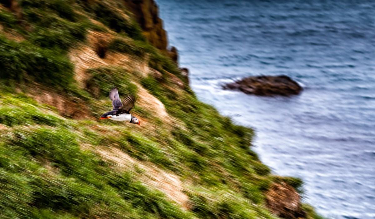 island-bakkagerdi-puffin-6