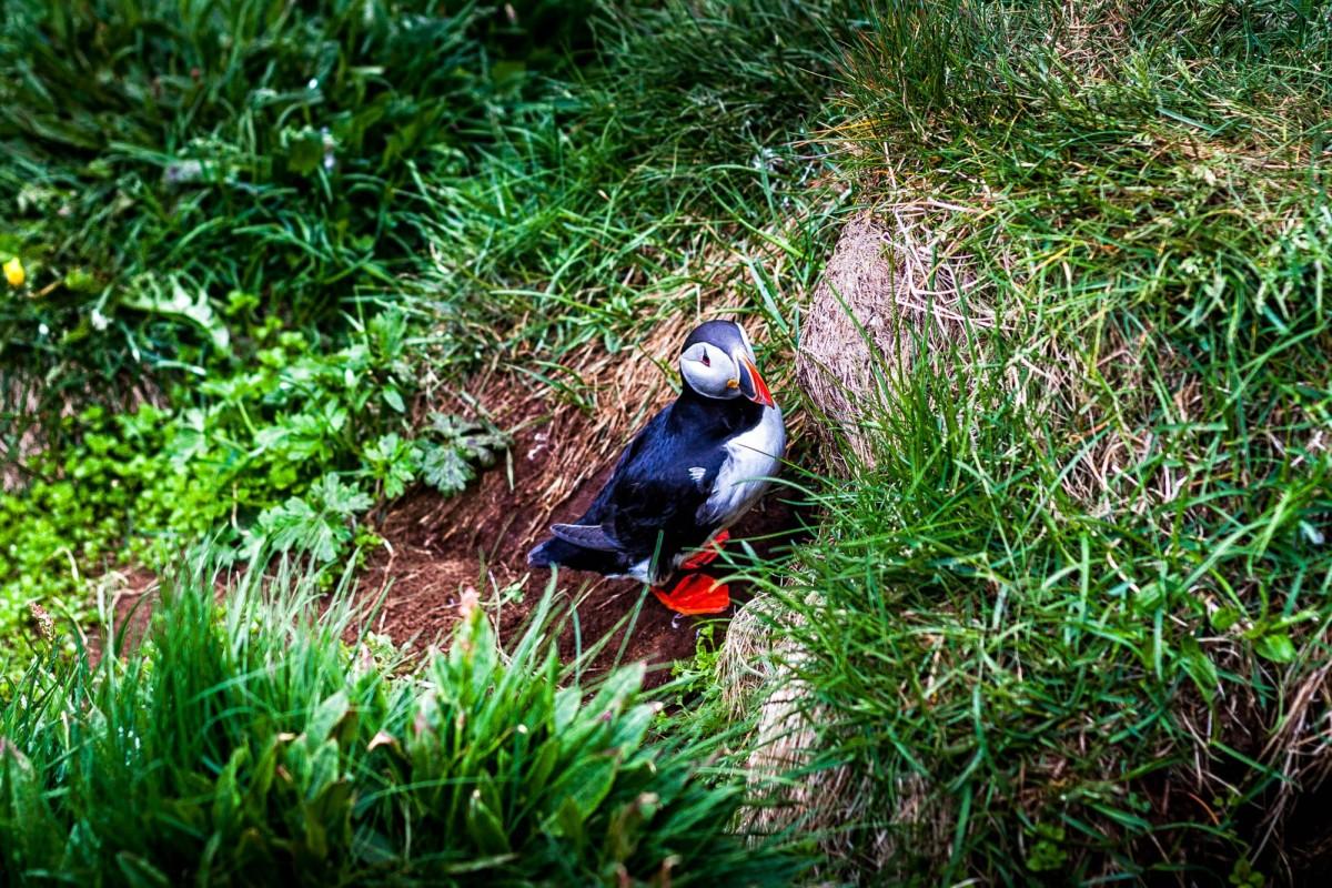 island-bakkagerdi-puffin-8