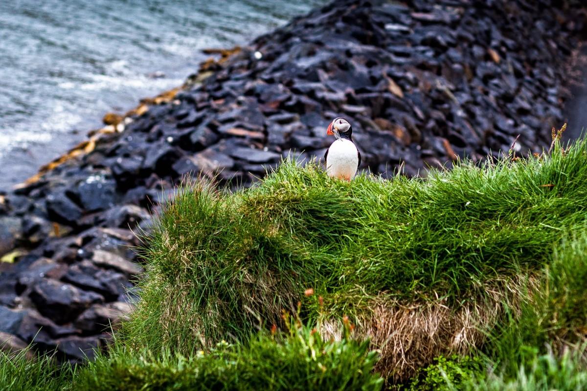 island-bakkagerdi-puffin-9